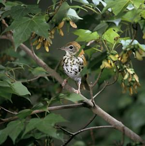 In this undated photo provided by the U.S. Fish and Wildlife Service a Wood Thrush bird is shown. Biologists say the current boom in gas drilling and pipeline construction threatens northeastern forests and some of the songbirds and creatures that live in them, and that more can be done to minimize the harm. (AP Photo/U.S. Fish and Wildlife Service)