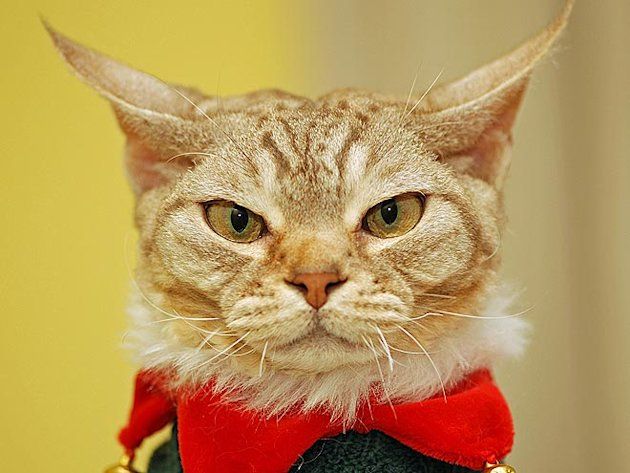 Image Gallery mad cat face