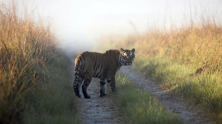 FILE - This undated file photo released by Corbett Tiger Reserve, shows a tiger at the reserve in the northern Indian state of Uttarakhand. Forest officials said another tiger who strayed from the park killed its 10th human victim in six weeks Sunday, Feb. 9, 2014. Deputy Director Saket Badola of the national park said the female tiger was outside its normal territory and prowling near villages on the border between Indian states of Uttarakhand and Uttar Pradesh. (AP Photo/Corbett Tiger Reserve, File)
