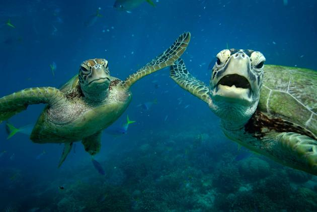 Two Green turtles, Shelley and Casey, share a high five underwater. The photograph was taken by Australian snapper Troy Mayne ,39, at Moore Reef, on the Great barrier Reef. He has written a series of