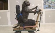 Rescue Dogs Taught How To Drive A Car