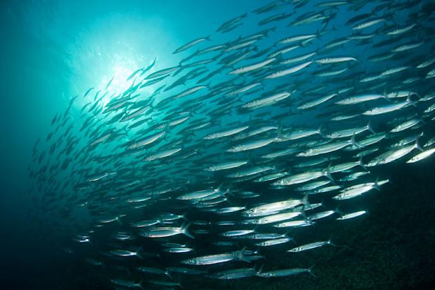 A school of Bigeye Barracudas (Sphyraena forsteri) in Tubbataha Reef, Sulu Seas, Palawan, Philippines. Copyright:              © Jurgen Freund / WWF-Canon