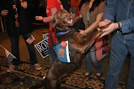 Reeses, the dog, proudly sports a Ron Paul for President button at Paul's Ankeny, Iowa, Mariott Courtyard headquarters on caucus night in Iowa, January 3, 2012.