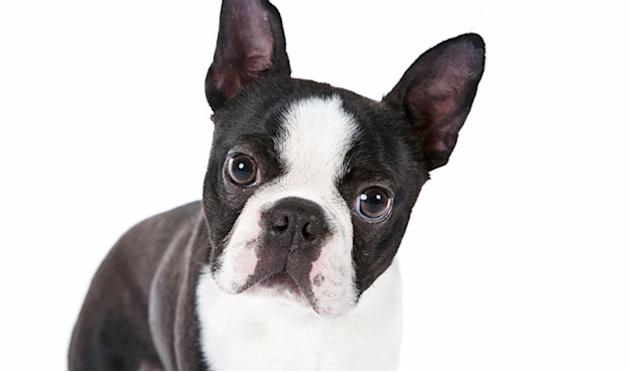 New England Gentleman: Boston Terrier