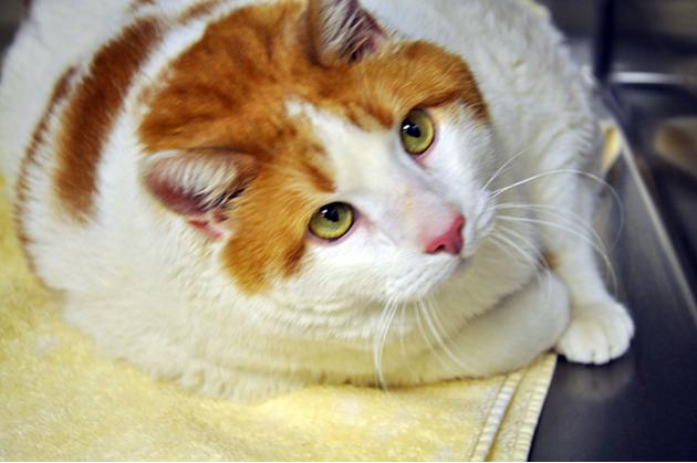 Meow the 40-pound cat!  Meet Meow, a cat fighting to lose 10 pounds so he can be found a new home. The two-year-old orange and white tabby tips the scale at almost 40 pounds, and the Santa Fe Animal S
