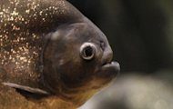 This file illustration photo shows a red-bellied piranha. Authorities in southern China have moved to quash a bizarre piranha threat, offering bounties and free bait amid fears the aggressive South American fish has invaded a river, state media said on Thursday
