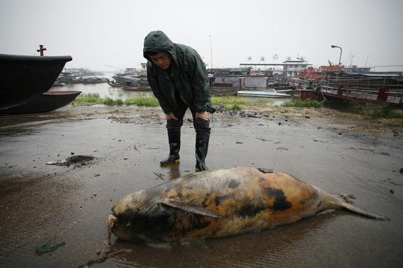 Rare Chinese Porpoises Dive Toward Extinction