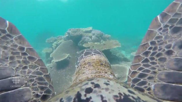 The World Wildlife Fun equipped a Go Pro camera to raise awareness for Australia's Great Barrier Reef