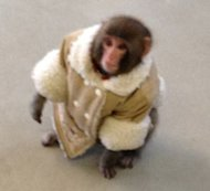 A monkey was loose outside a Toronto Ikea store on Sunday.
