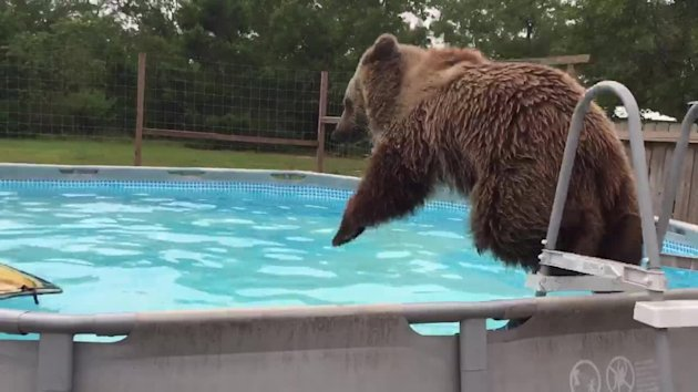Bruiser the bear knows the perfect way to cool down on a hot summer's day: he jumps in the backyard pool and goes for a quick dip.