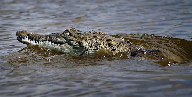 A crocodile is seen in a canal near Florida City, Florida. (Getty Images)