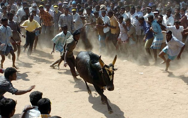 Jallikattu - the blood-sport of bull-taming. Click for more photos
