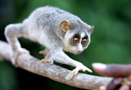 File photo of a Slender Loris in Bangalore. Hunted for centuries for its purported qualities as an aphrodisiac, asthma cure and as a kind of living voodoo doll, the tiny primate known as the Slender Loris has long faced a battle just to survive