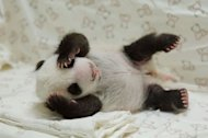 Undated photo provided by the Taipei City Zoo on August 11, 2013 shows a new-born panda cub at the zoo. The cub stayed overnight for the first time with her doting mother, zoo-keepers said Thursday