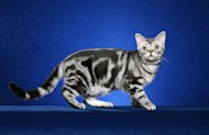 "A tabby cat with a ""blotched"" color pattern."