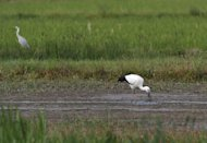 File photo taken on October 18, 2010 shows a stork in a rice paddy in Japan's Hyogo prefecture
