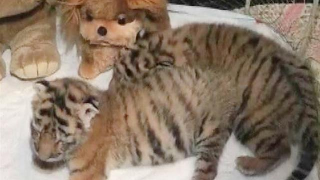 Rare Amur tiger cubs born in Ukraine