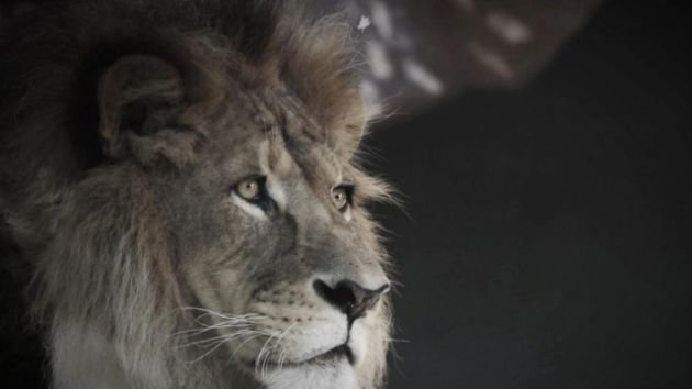 How Cecil the Lion became an iconic animal for Zimbabwe.