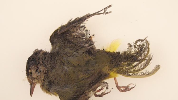 "This October 2013 photo provided by the U.S. Fish and Wildlife Service shows a burned MacGillivray's Warbler that was found at the Ivanpah solar plant in the California Mojave Desert. Workers at a state-of-the-art new solar plant have a word for the birds that fly over the plant's five-mile field of mirrors, ""streamers,"" for the puff of smoke as the birds ignite in mid-air and fall singed to the ground. (AP Photo/U.S. Fish and Wildlife Service)"