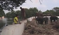 Elephants Stranded By Floods In Thailand