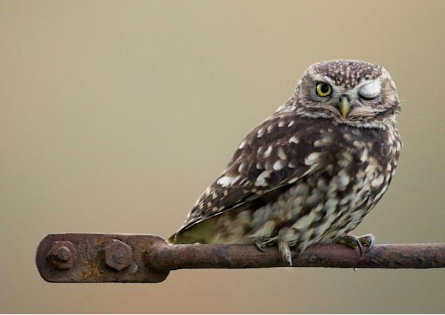 A cheeky owl gives a Simon Cowell-style wink to the camera. Wildlife photographer Mark Hancox snapped the Little Owl giving the X Factor judge's trademark gesture last Friday. Patient Mark, 48, wa