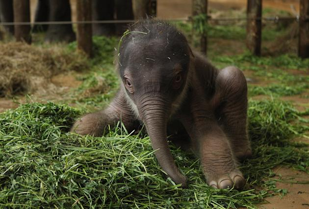 Two-Day Old Baby Elephant Presented At Berlin Zoo