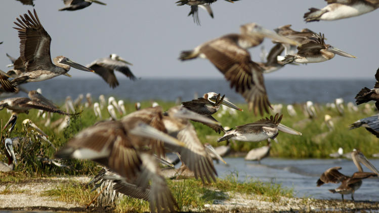 Nesting pelicans fly on Cat Island, which has eroded greatly since he Deepwater Horizon oil spill, in Barataria Bay in Plaquemines Parish, La., Wednesday, April 11, 2012. (AP Photo/Gerald Herbert)