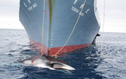 File photo shows a Japanese whaling ship killing two whales in Antarctic waters. New Zealand said Friday it would join an Australian attempt to stop Japanese whaling through the courts after failing to persuade Tokyo to halt its annual cull through diplomatic channels.