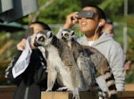 Ring-tailed lemurs can be seen in the foreground as children watch a solar eclipse at the Japan Monkey Center in Japan's Aichi prefecture on May 21. The once-in-a-lifetime event sent the primates into evening behaviour, which involves a round of brisk exercise to keep their body temperature up, an official said