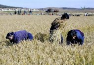 Handout photo from the UN World Food Programme shows North Korean women harvesting rice in a cooperative farm in Uiju county, North Pyongan province, in 2003. North Korea suffers chronic food shortages, but the situation is frequently exacerbated by floods, droughts and mismanagement