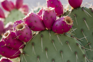 Nopal cactus with fruit