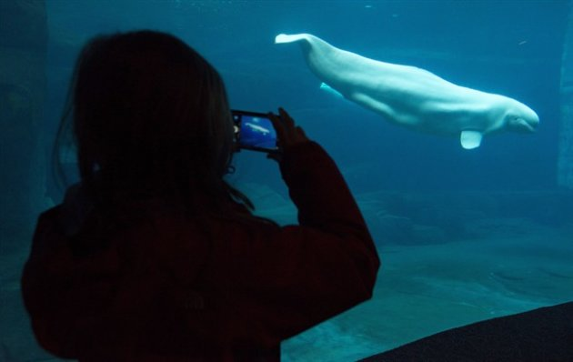 A girl takes pictures of a beluga whale at the Vancouver Aquarium in Vancouver, B.C., Dec. 27, 2014. (CP)