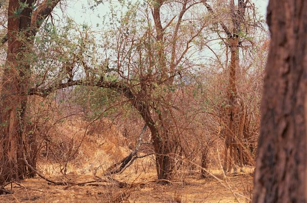 A Giraffe, vertically camouflaged by the shape and colour of the surrounding vegetation in Transvaal, South Africa