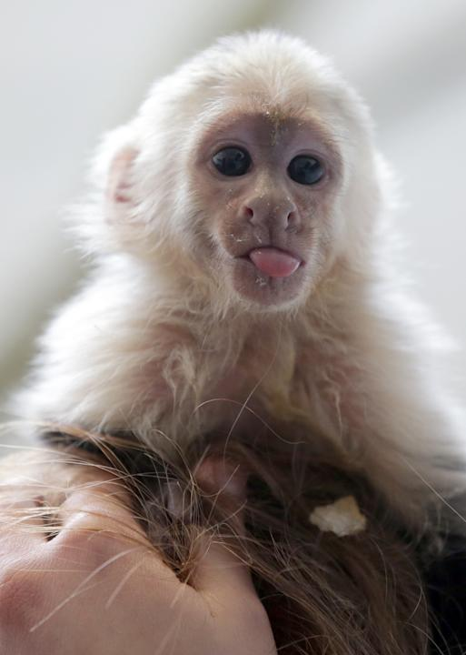 "Capuchin monkey 'Mally"" sits on the head of an employee in an animal  shelter in Munich, Germany, Tuesday, April 2, 2013. Canadian singer Justin Bieber had to leave the monkey last Thursday in quarant"