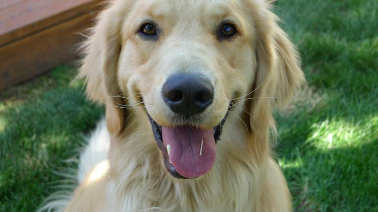 This 2012 photo provided by Colorado State University, shows a golden retriever, Louie Mesinger,  in his backyard during the summer in Boulder, Colo.  The Golden Retriever Lifetime Study will be the largest and longest study of dogs ever conducted. For Louie and 2,999 other purebred golden retreivers who are chosen over the next two years, their lives, usually a 10-to-14-year life span, will be tracked for genetic, nutritional and environmental risks to help scientists and veterinarians find ways to prevent canine cancer. (AP Photo/Colorado State University, Josh Mesinger)