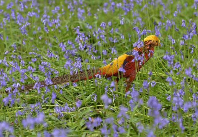 A golden pheasant walks amongst bluebells at Kew Gardens in west London