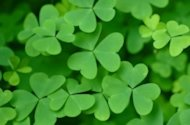 What St. Patrick's Day Can Teach You About Building Your Brand image clover saint patricks day 300x198