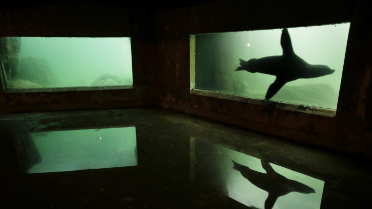 A sea lion is reflected in a puddle of water on the floor of an exhibit that was flooded to the ceiling during Superstorm Sandy at the Wildlife Conservation Society's New York Aquarium in Coney Island, New York, Monday, March 25, 2013.  (AP Photo/Seth Wenig)
