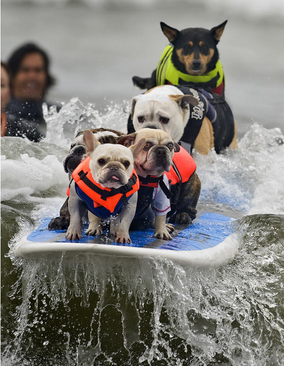 Luigi leads the way as six dogs attempt to break the Guinness World Record for most dogs on a surfboard, during the Surf City Surf Dog event held in Huntington Beach, Calif., Sunday, Sept. 25, 2011. T