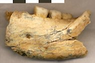 An ancient hominin jawbone unearthed in a Serbian cave may be more than half a million years old.