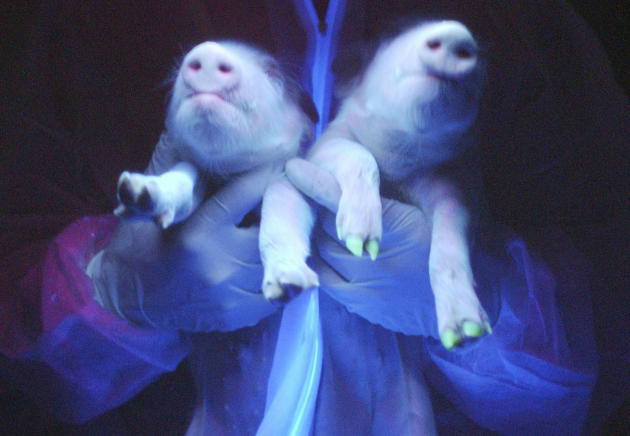 Two transgenic pigs are irradiated under ultraviolet radiation showing their green fluorescence protein feature at a hogpen in Harbin