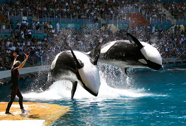 Water sprays from killer whales which perform during a show at the Marineland aquatic park in Antibes July 31, 2012. REUTERS/Eric Gaillard