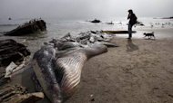 Whale Rotting On Malibu Celebrities' Beach