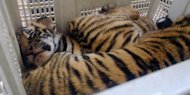 Two of four rescued tiger cubs are seen inside a plastic box at a police station in the central province of Ha Tinh on September 4. Vietnamese police on Tuesday seized four tiger cubs and more than 100 endangered pangolins from suspected wildlife smugglers, the authorities said