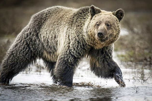 Native Americans Fight to Keep the Grizzly Bear on the Endangered Species List