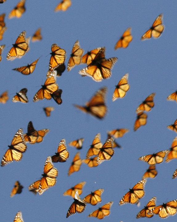 Is It the End for the Monarch's Cross-Continent Migration? (Op-Ed)