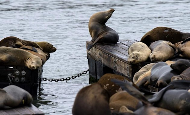 Sea lions relax on a pier in San Francisco on September 11, 2013