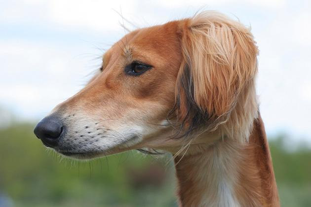 Saluki, Oldest Dog Breed