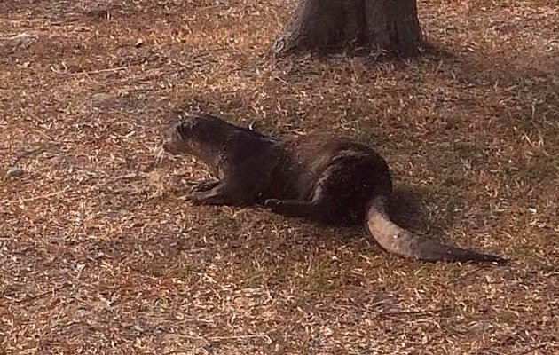 Winston Chew, 43, saw an otter coming out of the water near Marina Barrage at around 8:30 am. (Winston Chew Photo)
