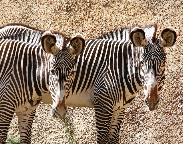 Why Do Zebras Have Stripes? Researchers Report New Theory